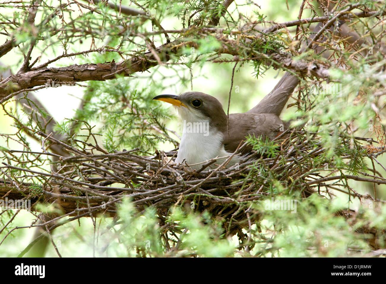 Gelb-billed Kuckuck im nest Stockbild