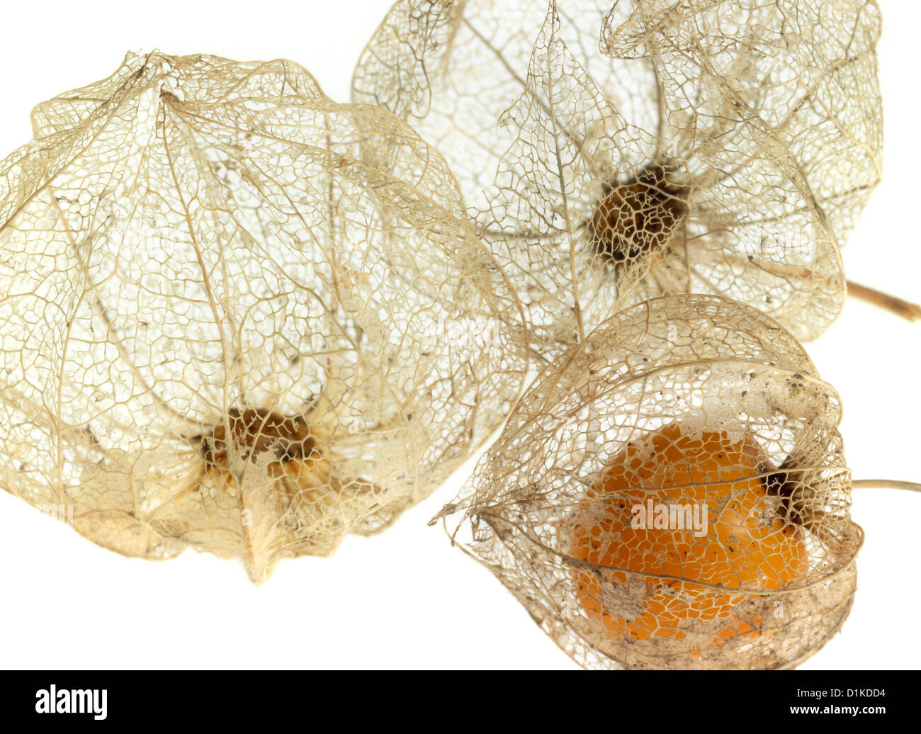 Detail der Kirschen faulen Blase in weißem Rücken Stockbild