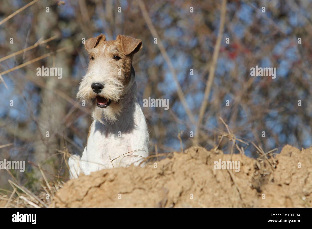 Wire Fox Terrier Stockfotos & Wire Fox Terrier Bilder - Alamy