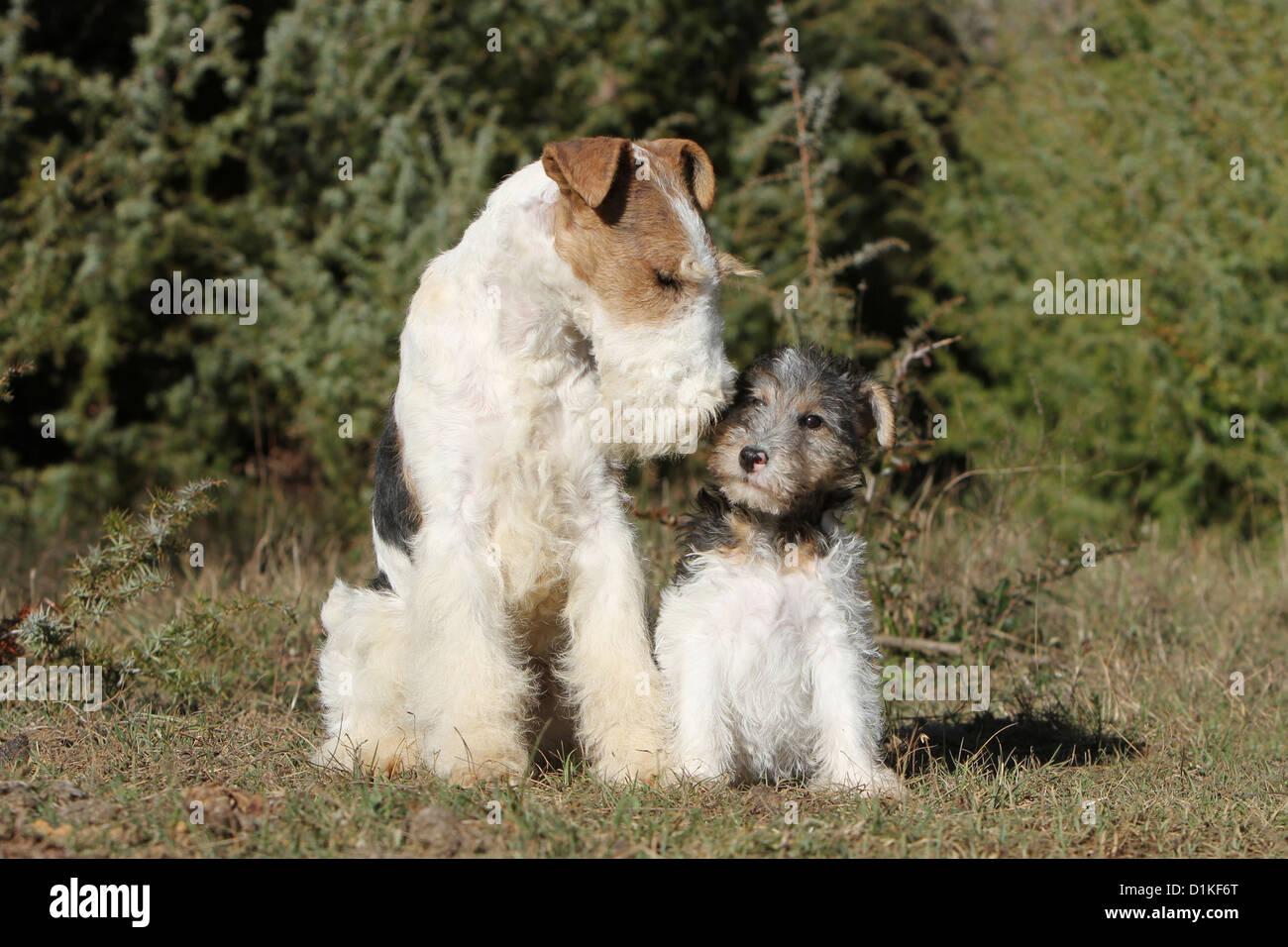 Erwachsener Hund Wire Fox Terrier und Welpen sitzen Küsse ...