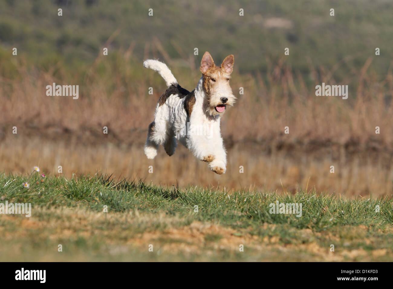 Fox Terrier Dog Running Stockfotos & Fox Terrier Dog Running Bilder ...
