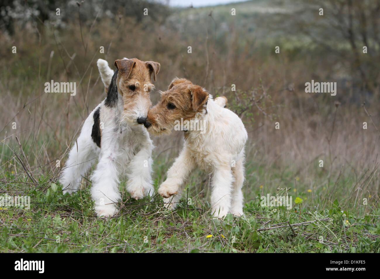 Ausgezeichnet Draht Fox Terrier Züchter Ideen - Der Schaltplan ...