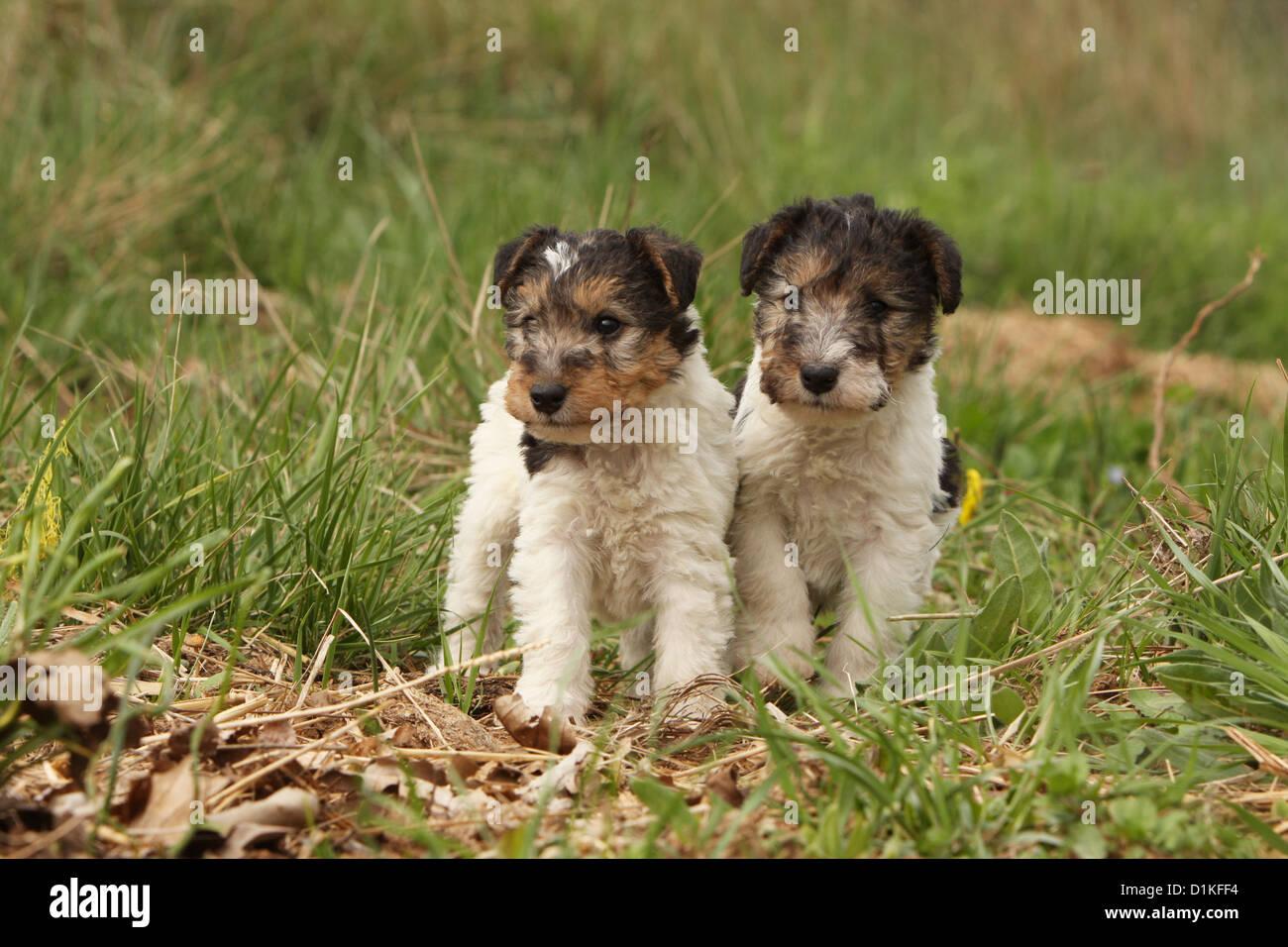 Nett Draht Fox Terrier Züchter Bilder - Der Schaltplan - greigo.com