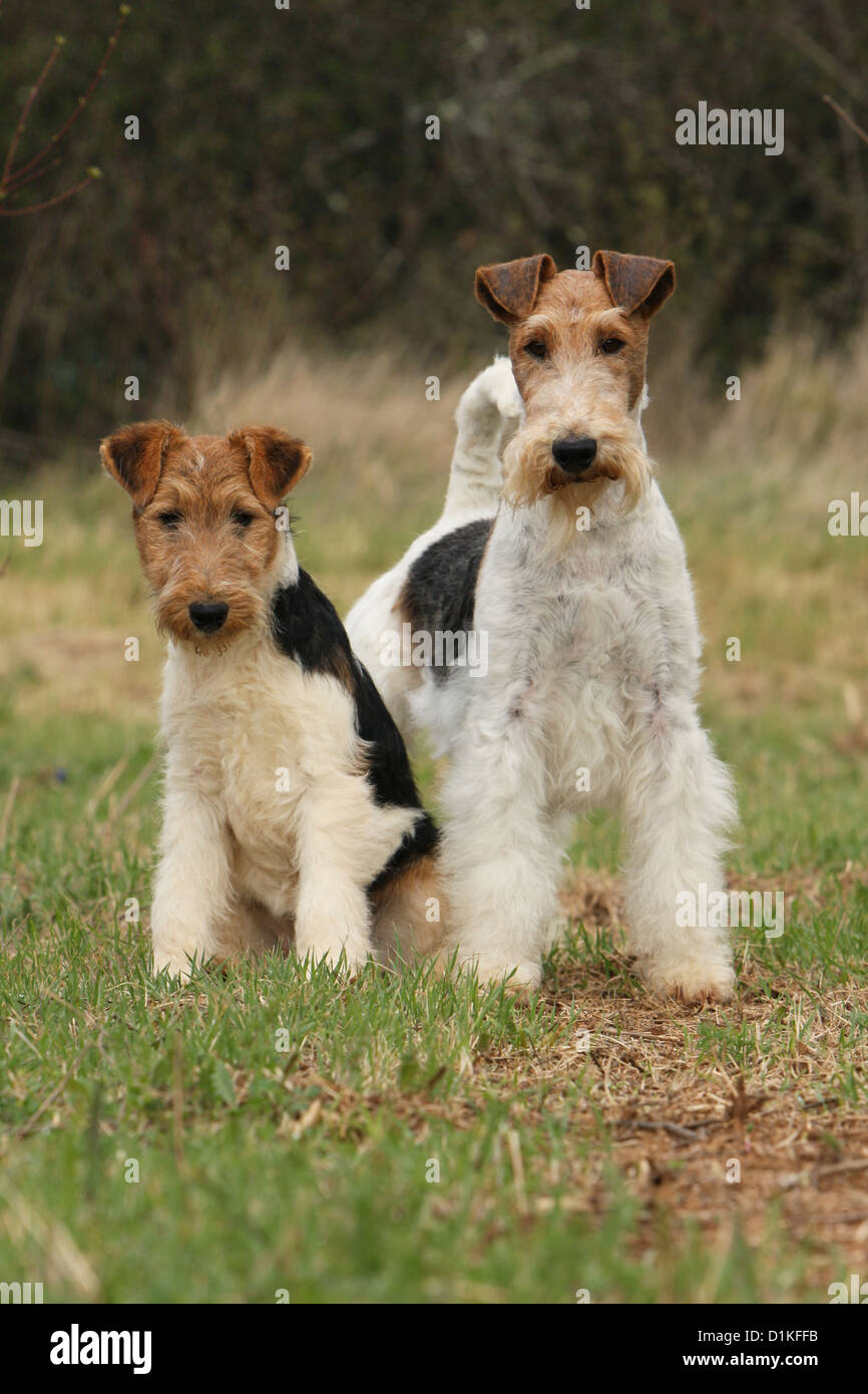 Fox Terrier Mother Puppy Stockfotos & Fox Terrier Mother Puppy ...