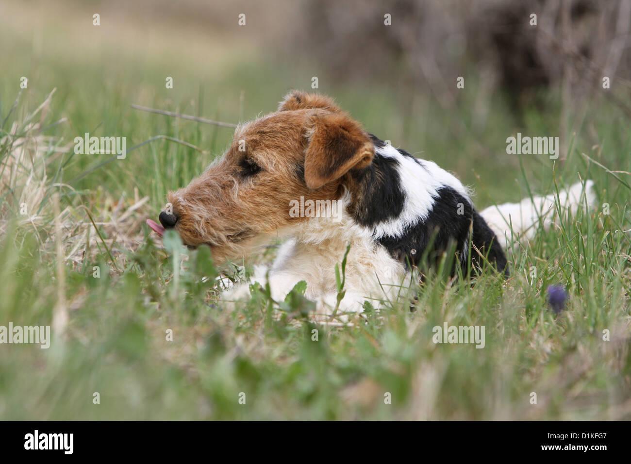 Fox Terrier Puppy Stockfotos & Fox Terrier Puppy Bilder - Alamy