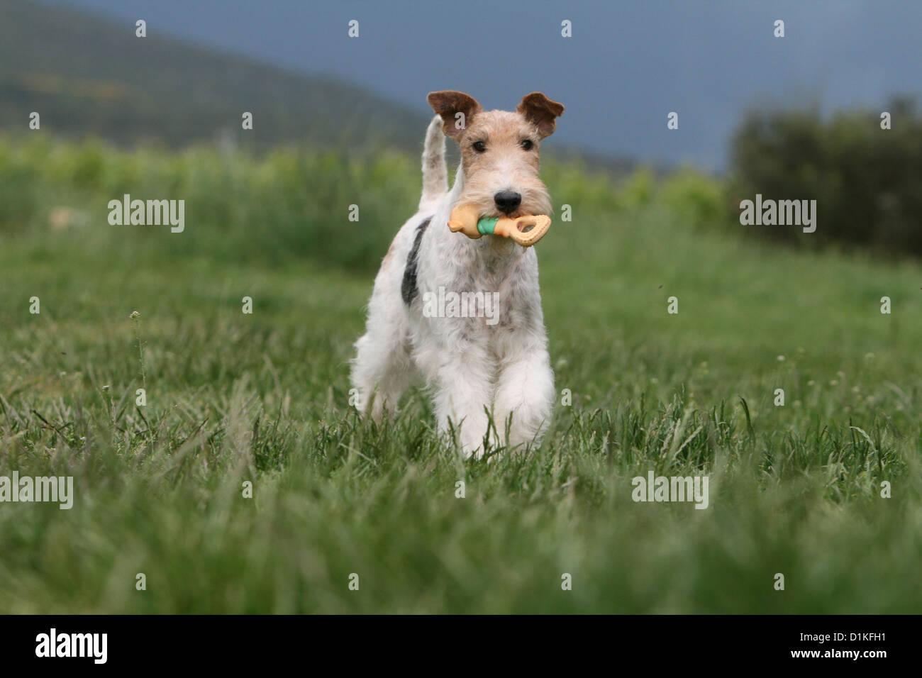 Toy Fox Terrier Stockfotos & Toy Fox Terrier Bilder - Alamy