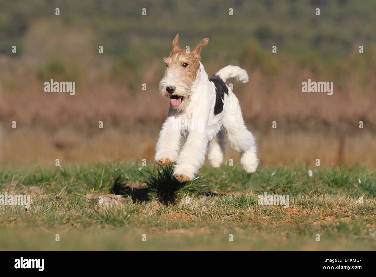 Fox Jumping Stockfotos & Fox Jumping Bilder - Seite 3 - Alamy