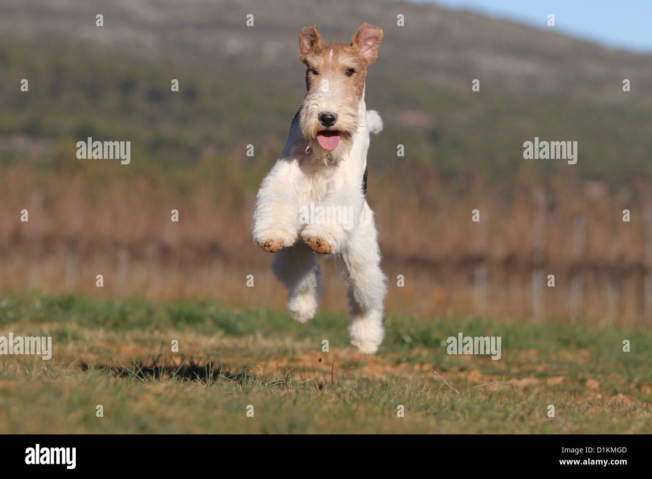 Groß Draht Fox Terrier Züchter Fotos - Schaltplan Serie Circuit ...