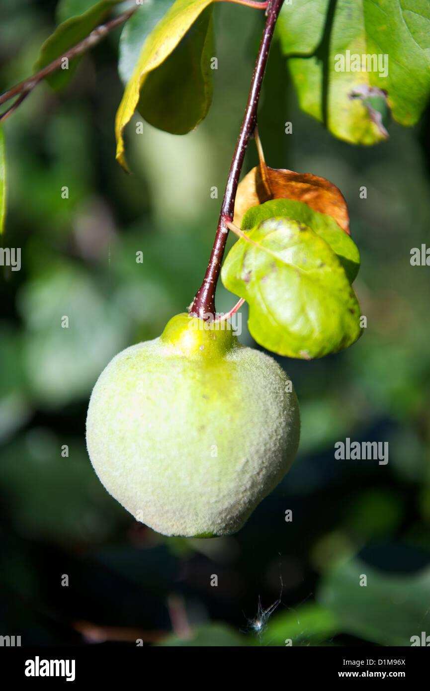 Quitte oder Cydonia Oblonga Reifung auf Baum Stockbild