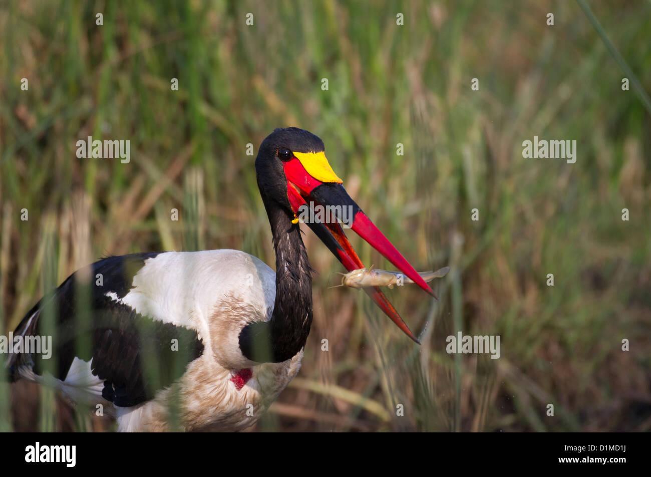 Sattel-Bill Stork-Angeln Stockfoto