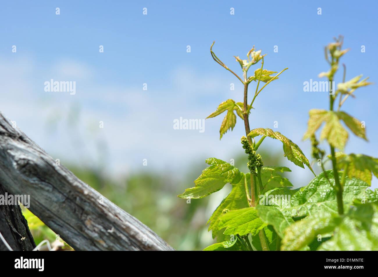 Rebe im Frühjahr Stockbild