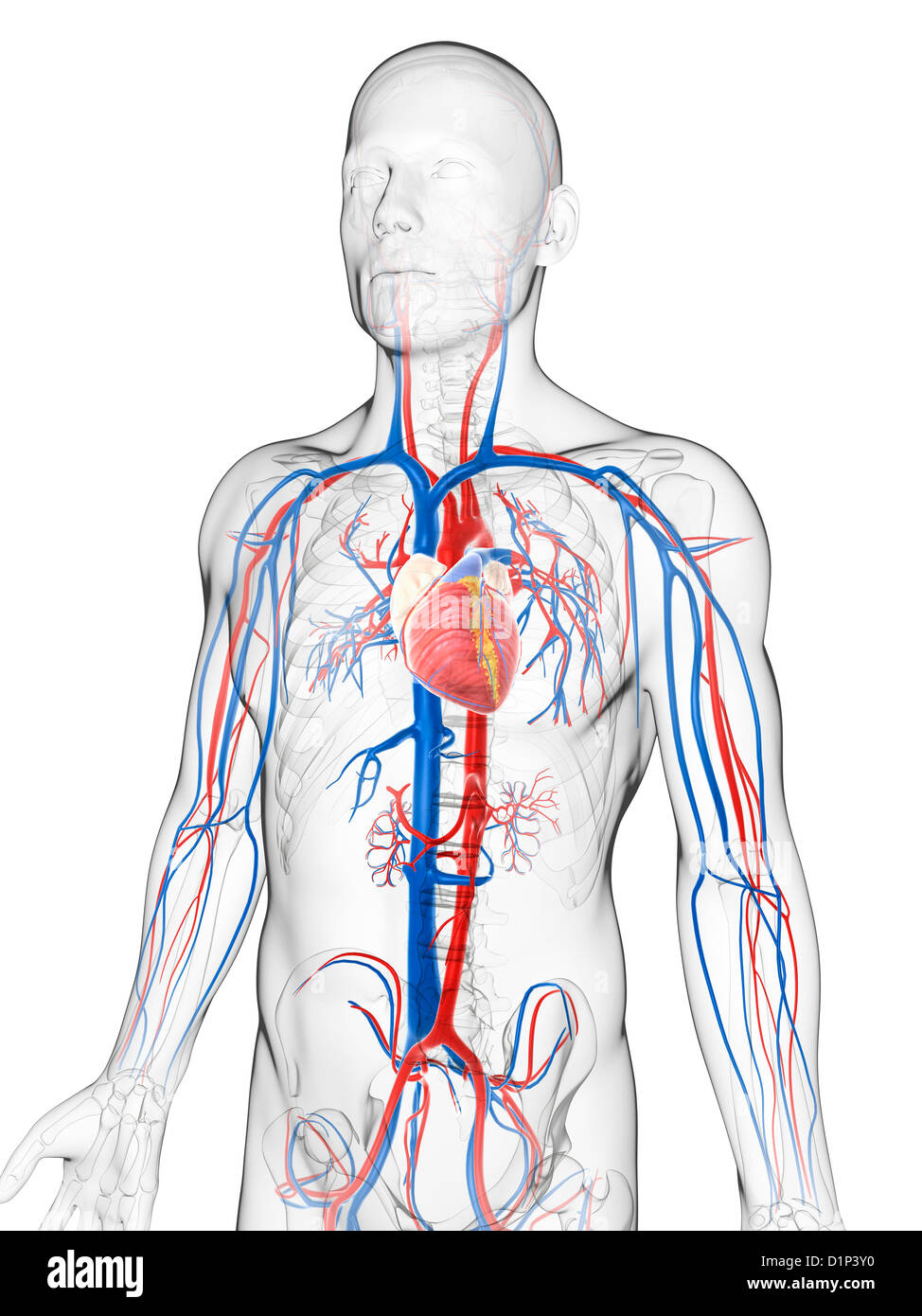 Heart Network Stockfotos & Heart Network Bilder - Seite 2 - Alamy