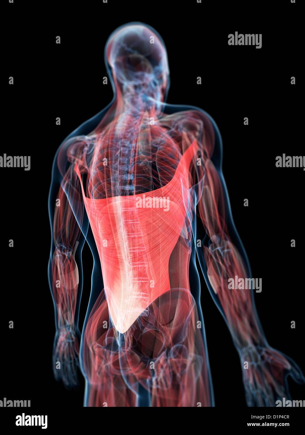 Ziemlich Muskeln Des Unteren Rückens Diagramm Fotos - Physiologie ...