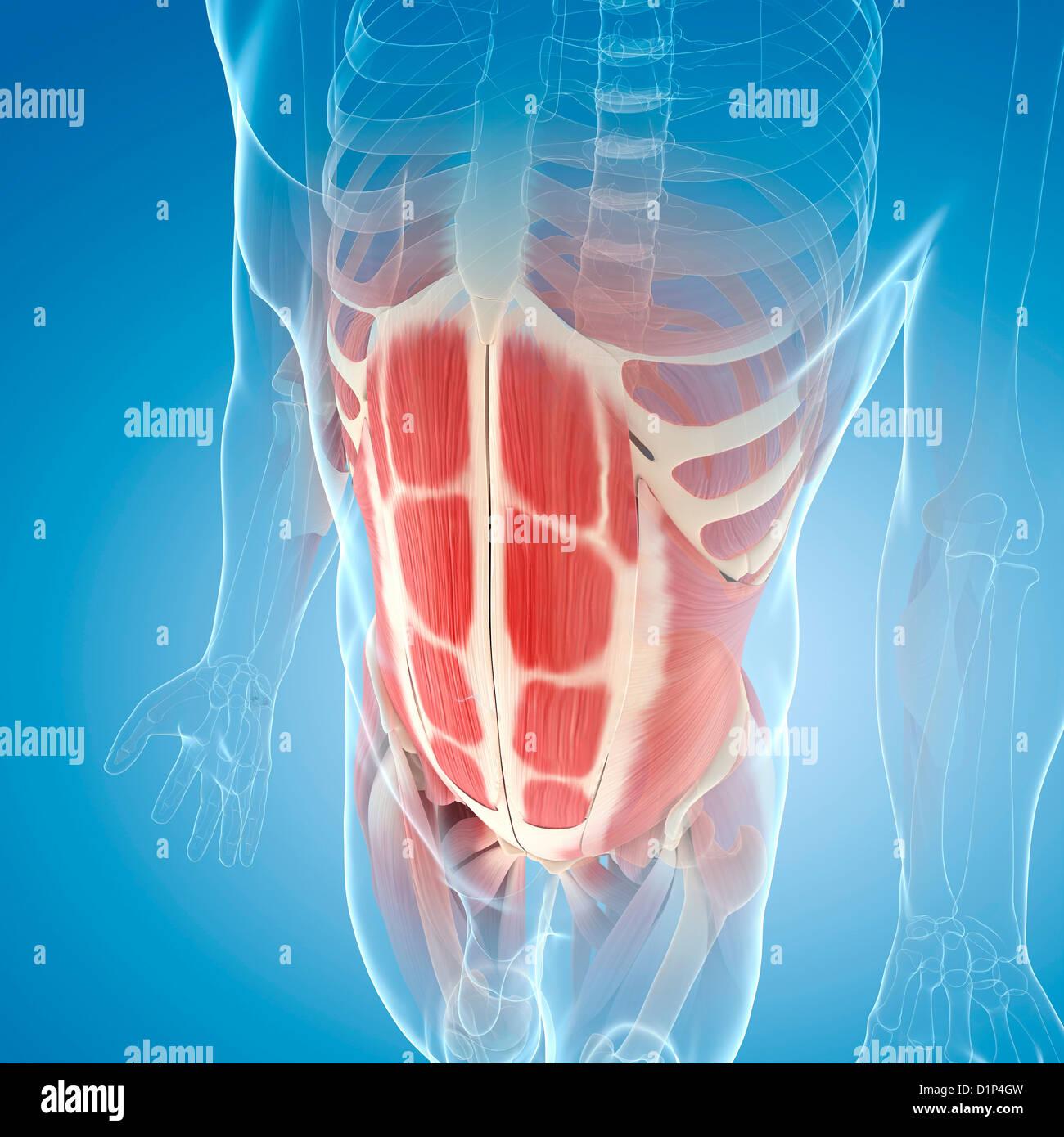 Großzügig Menschliche Bauchmuskelanatomie Zeitgenössisch - Anatomie ...