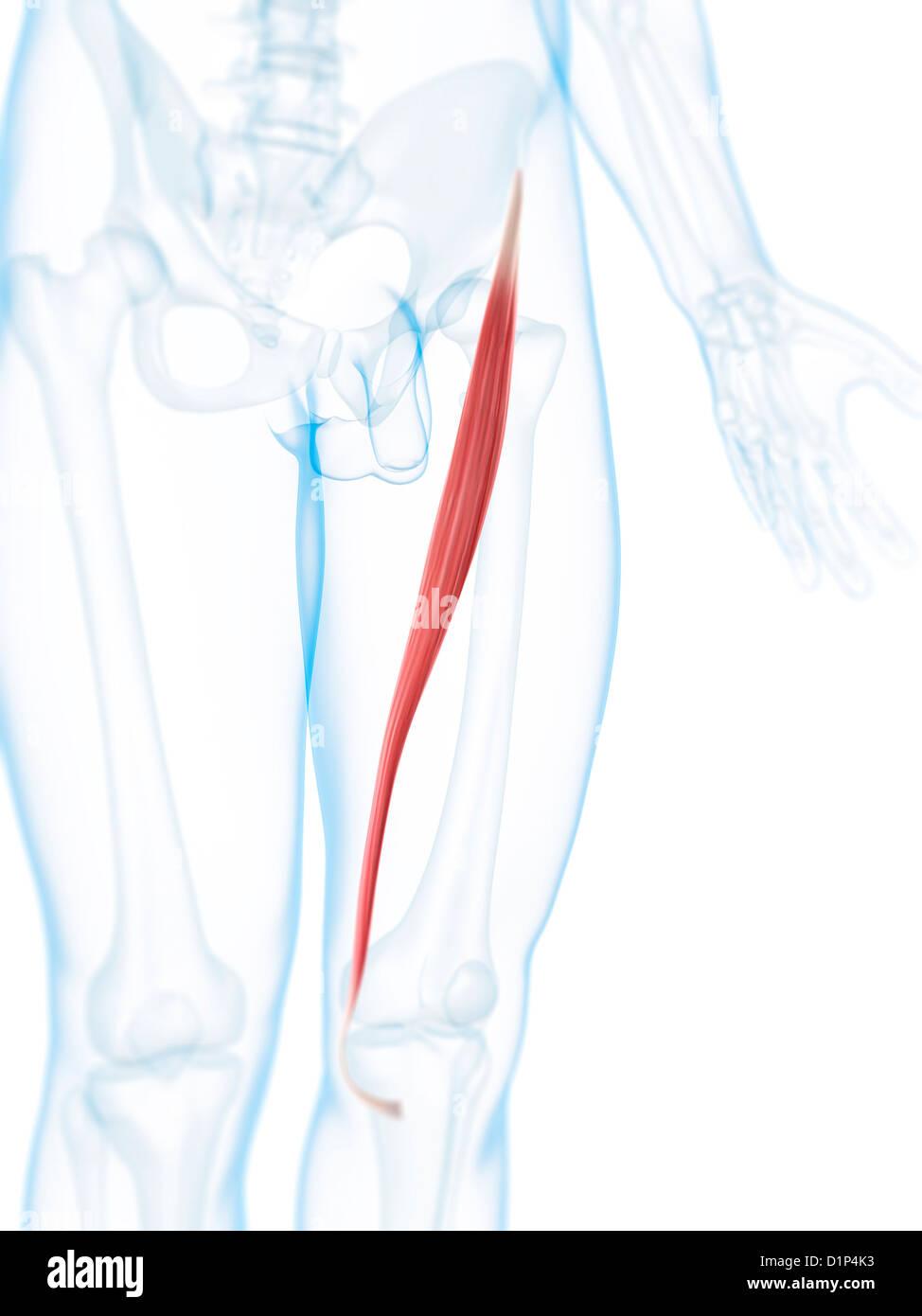 Sartorius Muscle Stockfotos Sartorius Muscle Bilder Alamy
