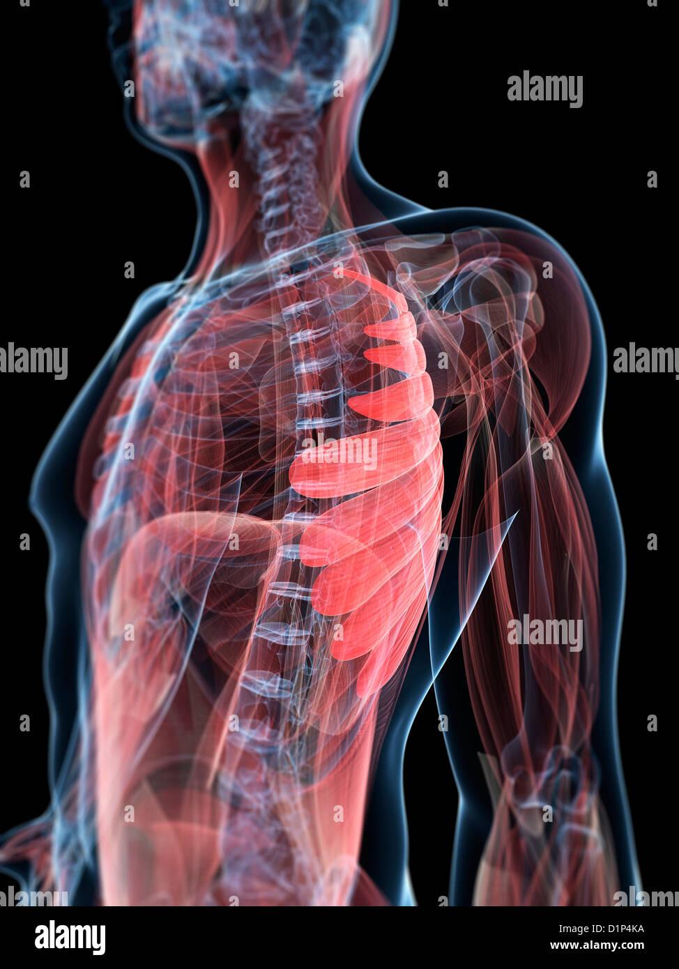 Charmant Brustmuskel Anatomie Diagramm Galerie - Menschliche ...