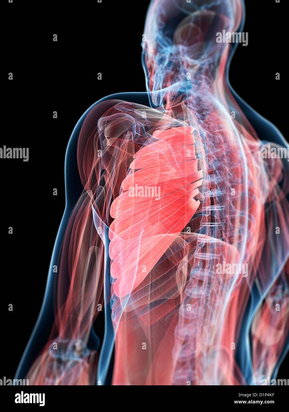 Brustmuskel, artwork Stockfoto, Bild: 52732387 - Alamy