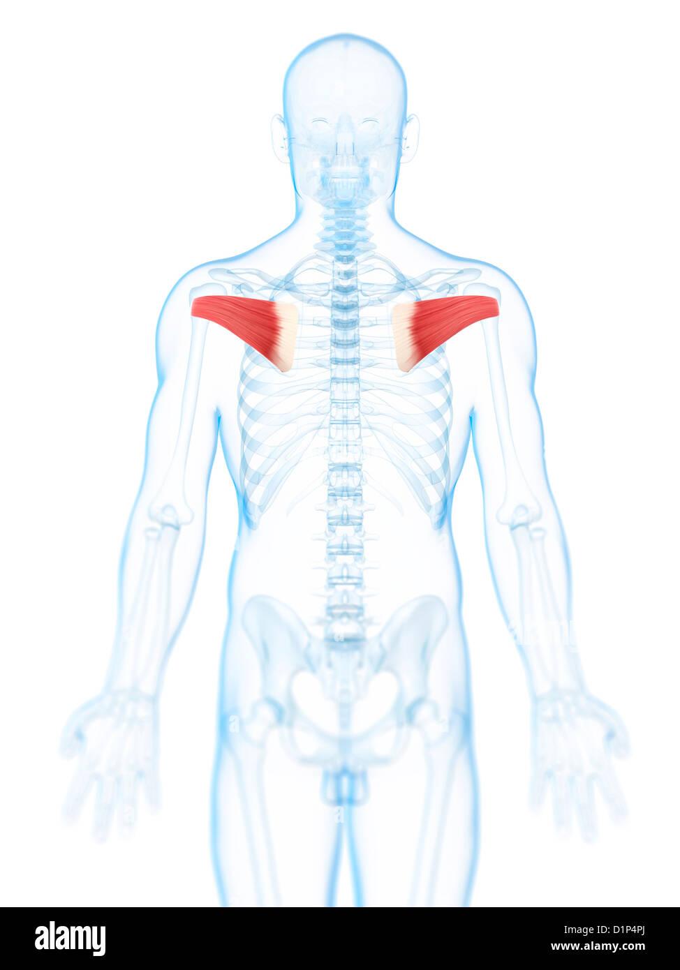 Wunderbar Muskeln In Rücken Diagramm Bilder - Menschliche Anatomie ...