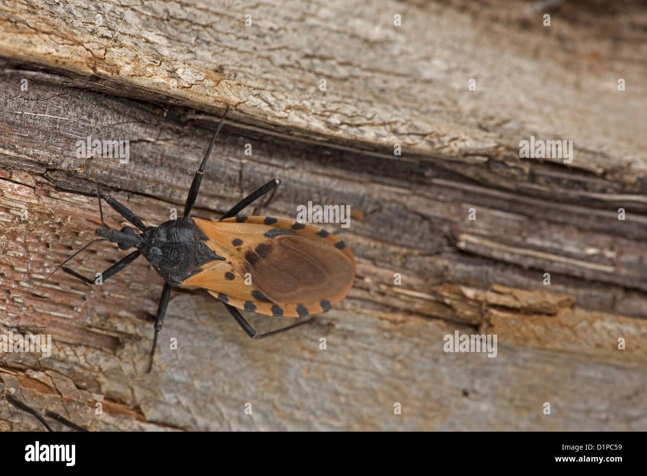Kissing Bug Triatoma Dimidiata, der großen Vektor der Trypanosomen Trypanosoma in Costa Rica, überträgt Stockbild
