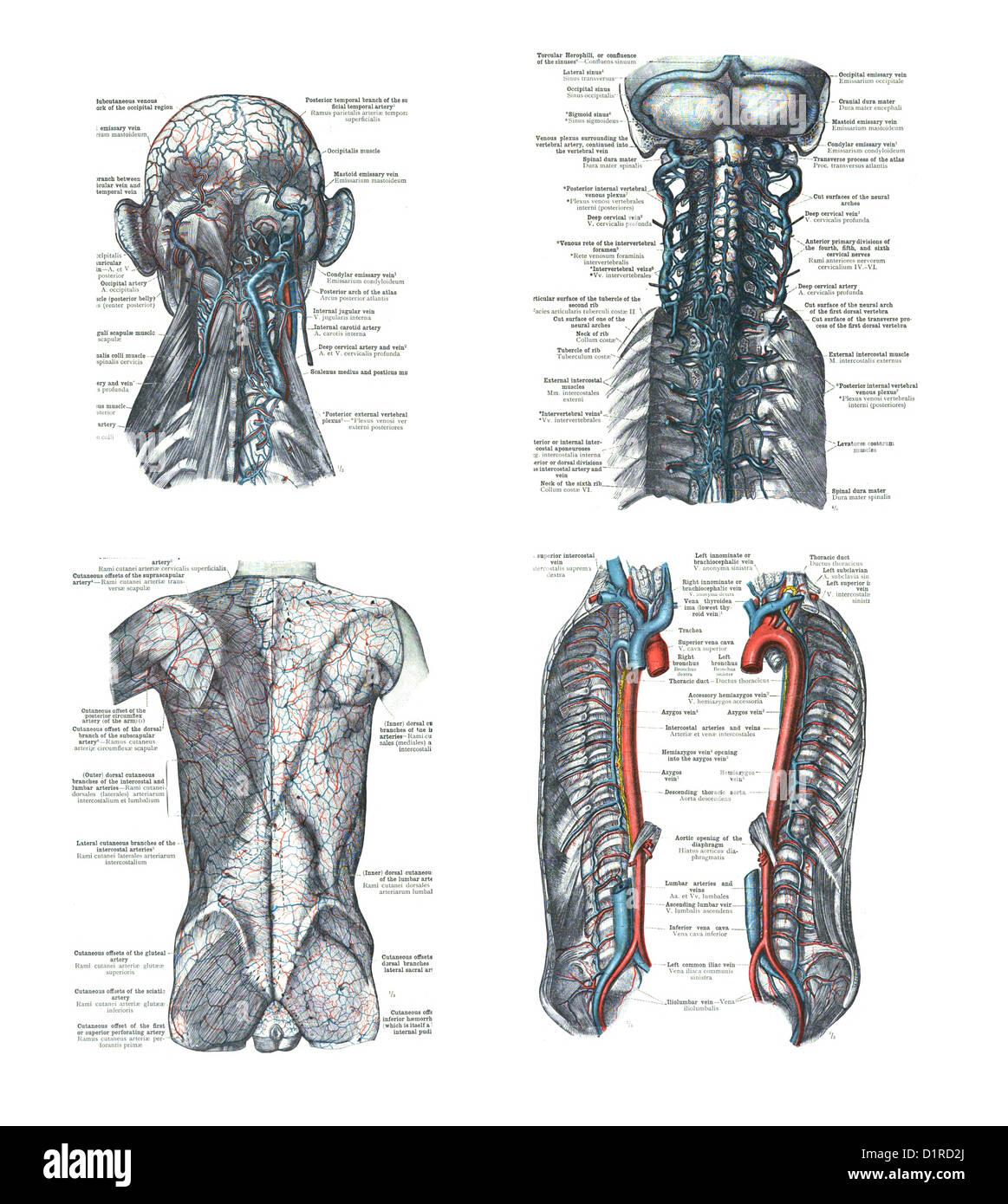 4 Ansichten des menschlichen Kopf, Wirbelsäule, und Rücken einen ...