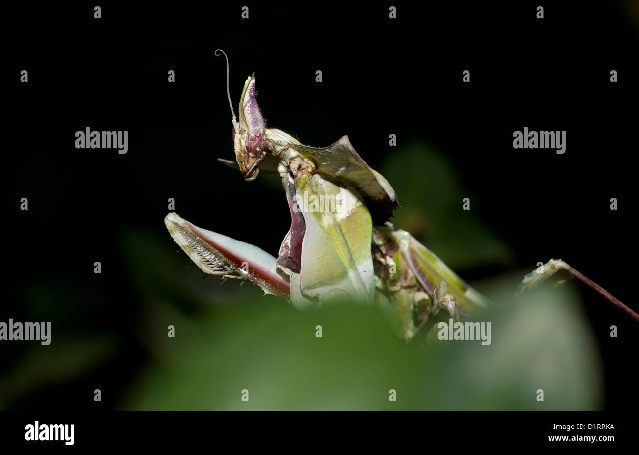 Nahaufnahme von mantis Stockbild