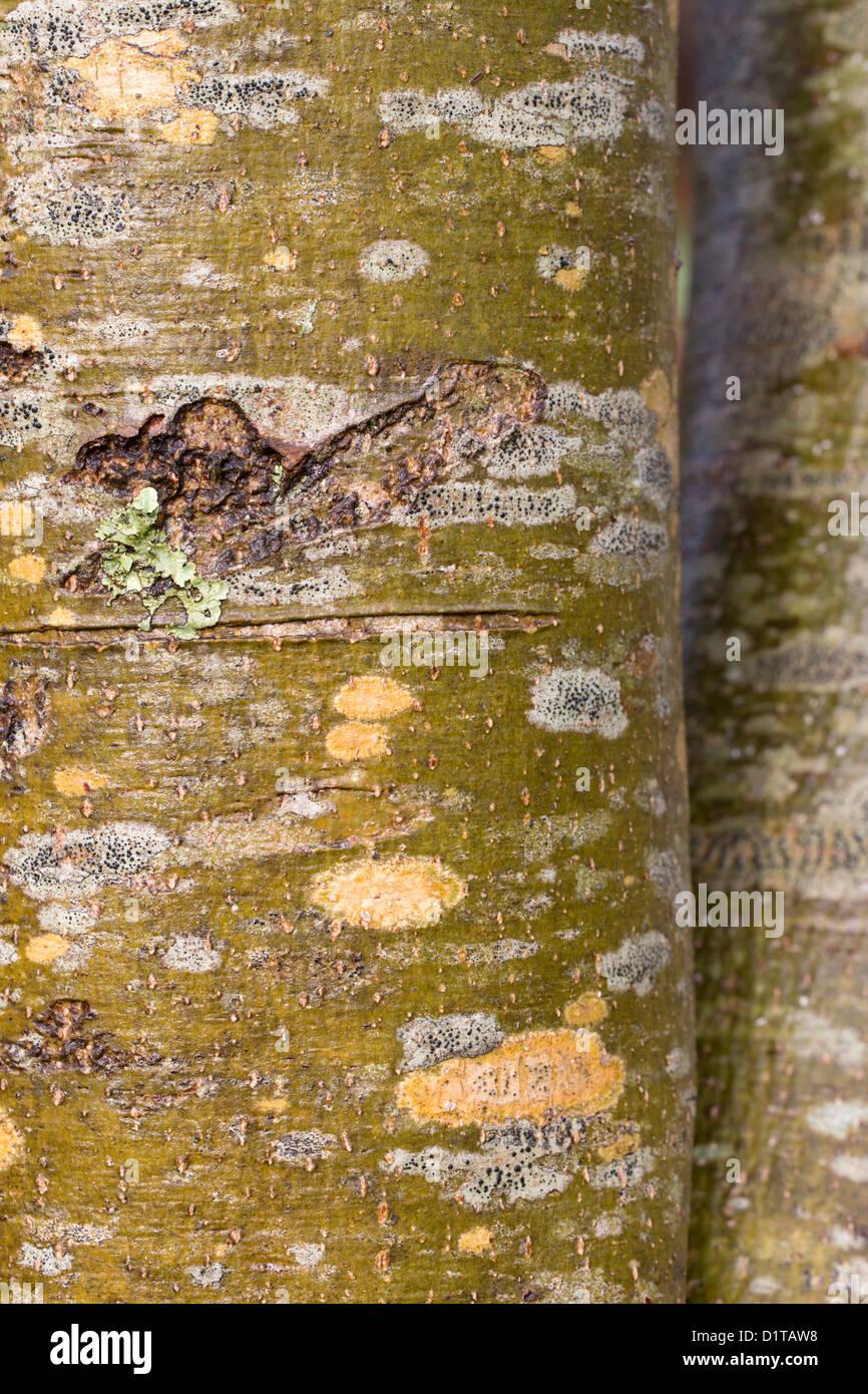 Asche Baumrinde; Fraxinus Excelsior; UK Stockbild