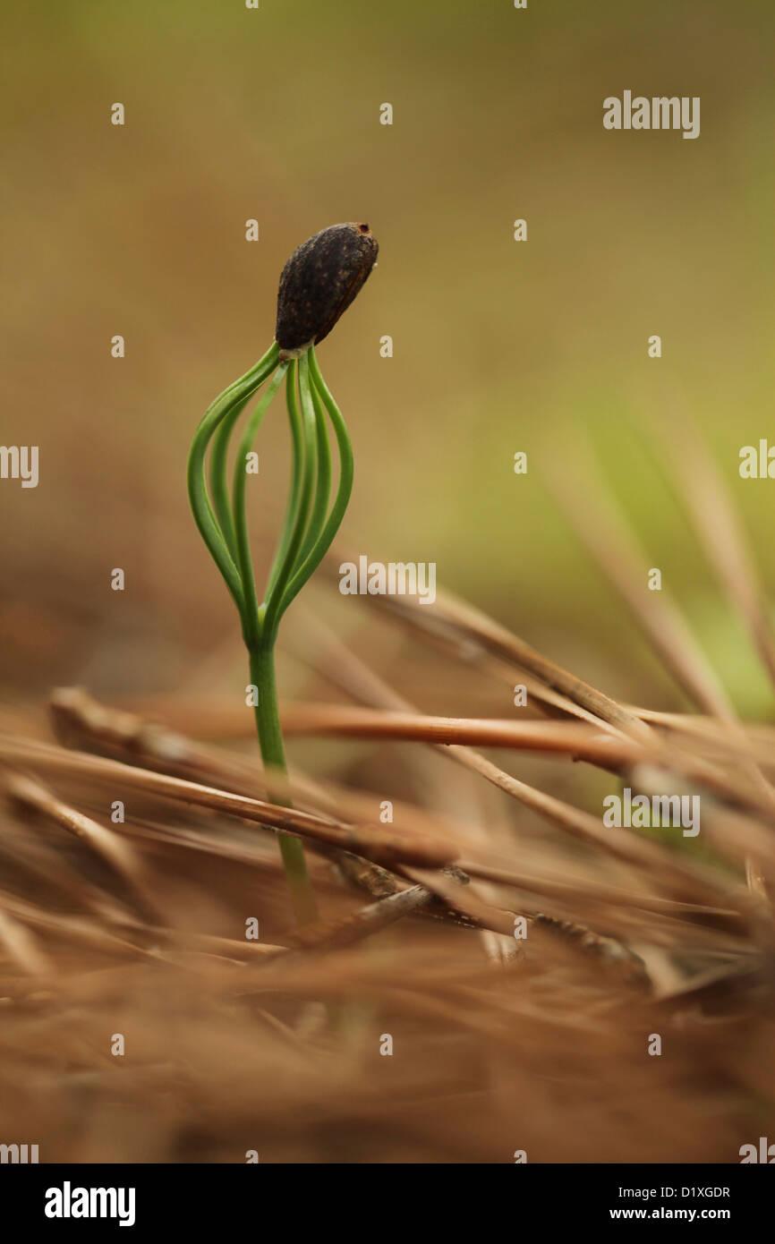 Neues Wachstum ist ein Pinienwald. Eine Tanne sprießen fotografiert in Israel im Dezember Stockbild