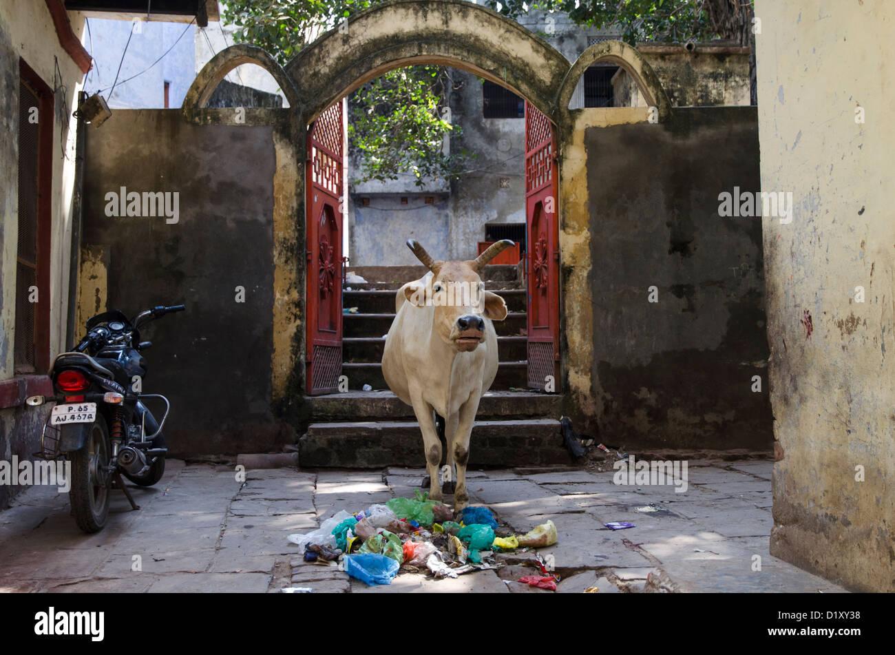 Heilige Kuh in Varanasi, Indien Stockbild