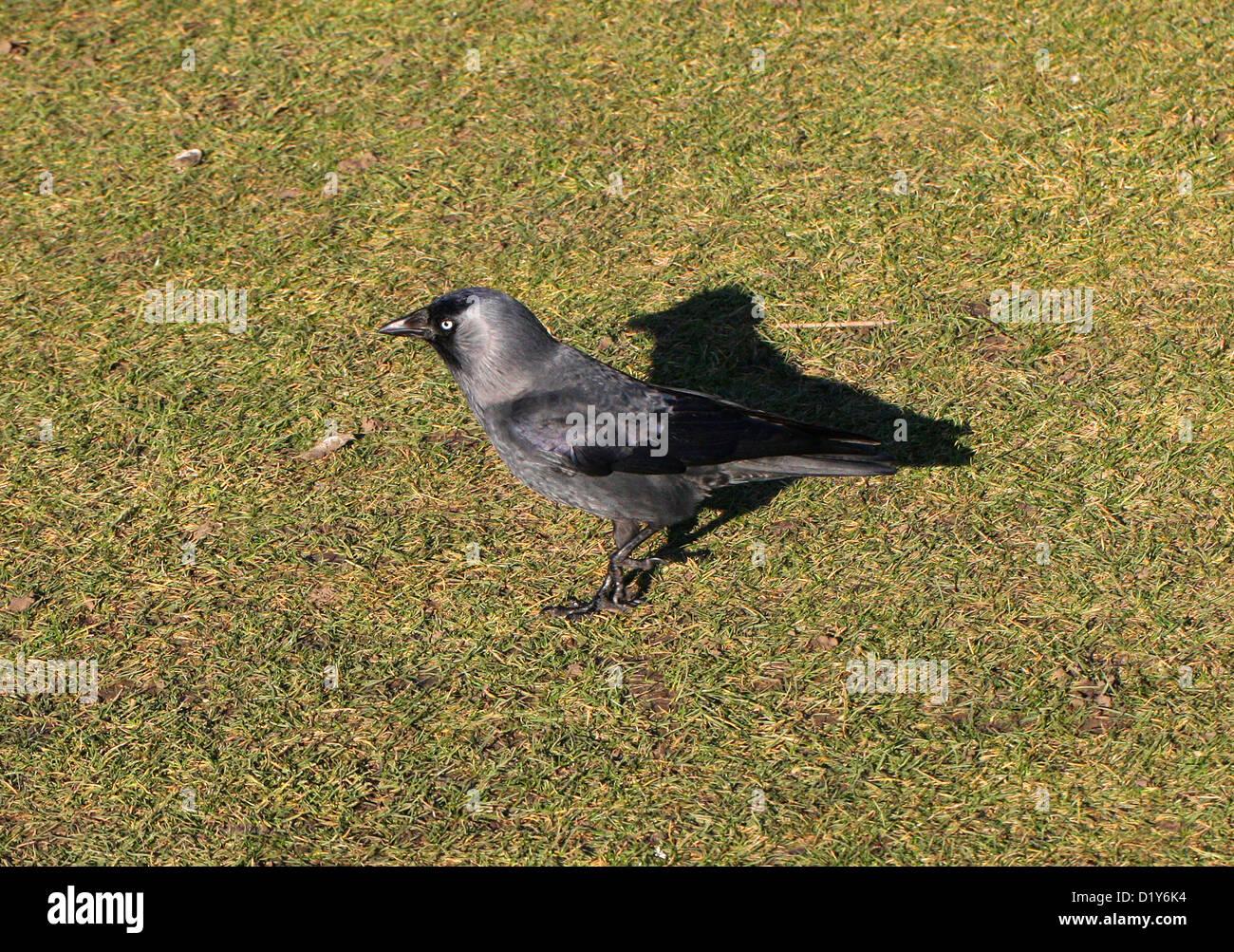 Western Dohle, Corvus Monedula, gefüttert. Aka eurasischen Dohle, Europäische Dohle. Gemeinsamen Vogel. Stockbild