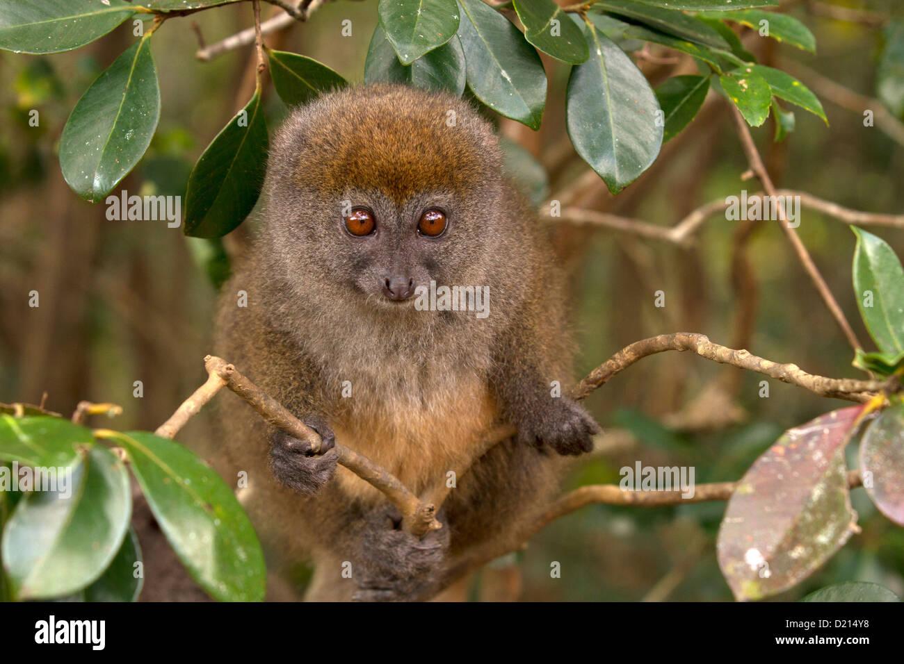 Östlichen grau Bambus Lemur, Hapalemur früh, Uhren Stockbild