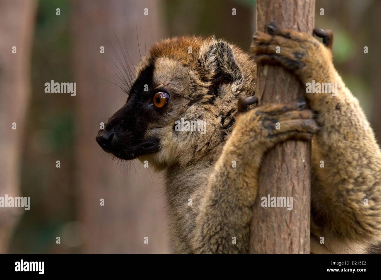 Gemeinsamen braune Lemur Eulemur Fulvus, klammerte sich an den Baum Stockbild