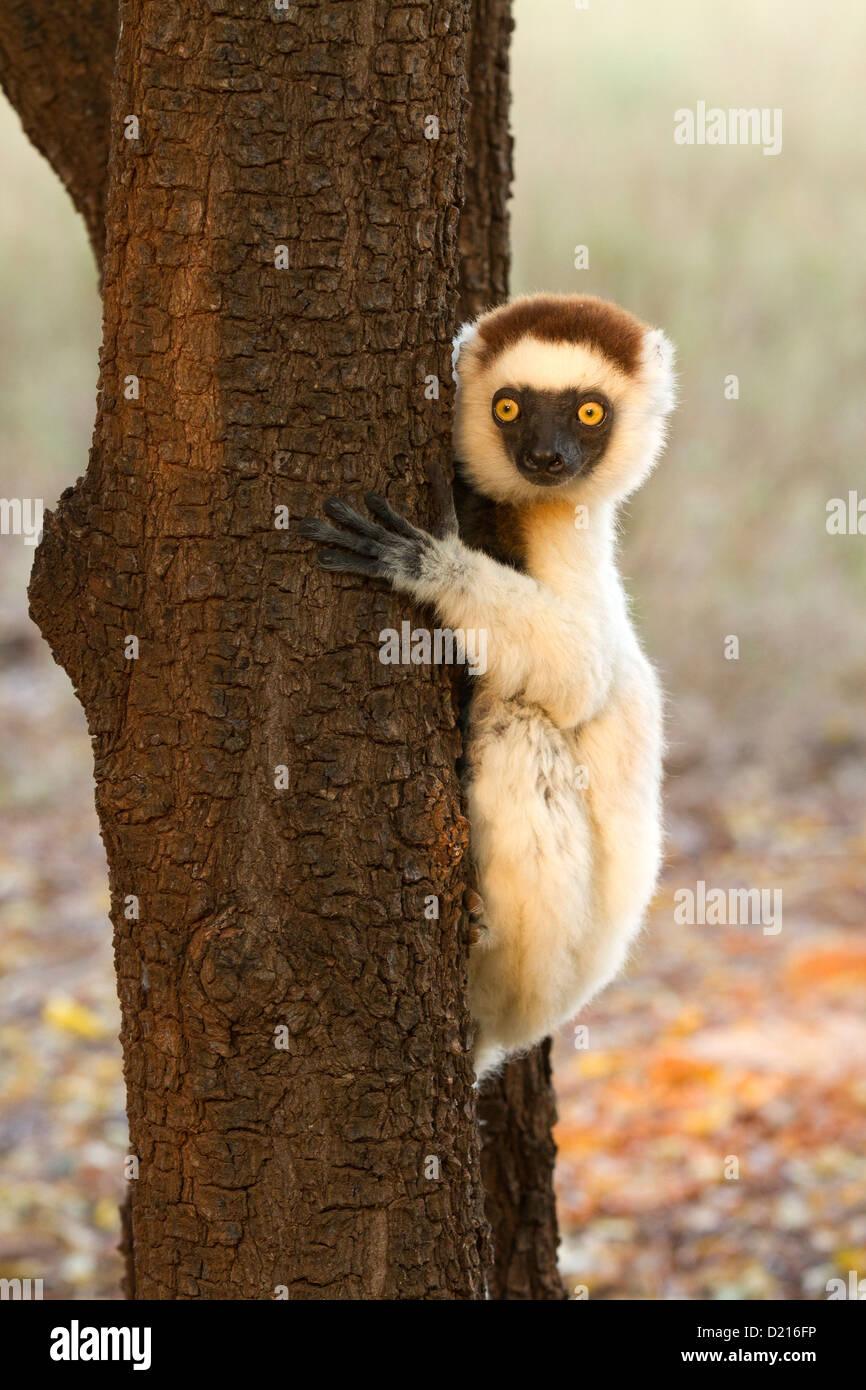Verreaux Sifaka (Propithecus Verreauxi) entspannen Sie in einem Baum Stockbild