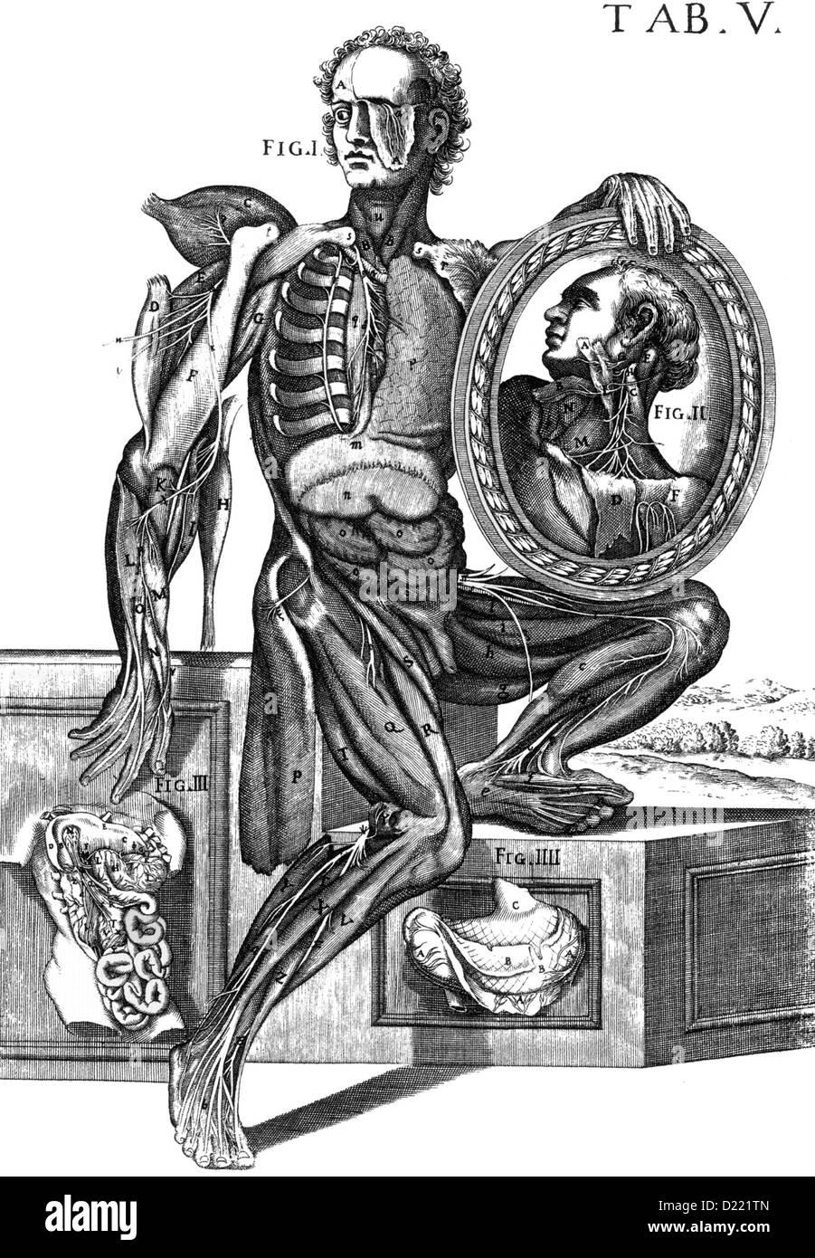 Flämischen Anatomen ANDREAS VESALIUS (1514-1564). Das Diagramm zeigt ...