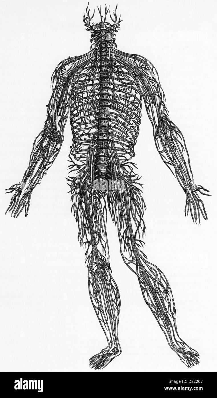 Flämischen Anatomen ANDREAS VESALIUS (1514-1564). Holzschnitt der ...