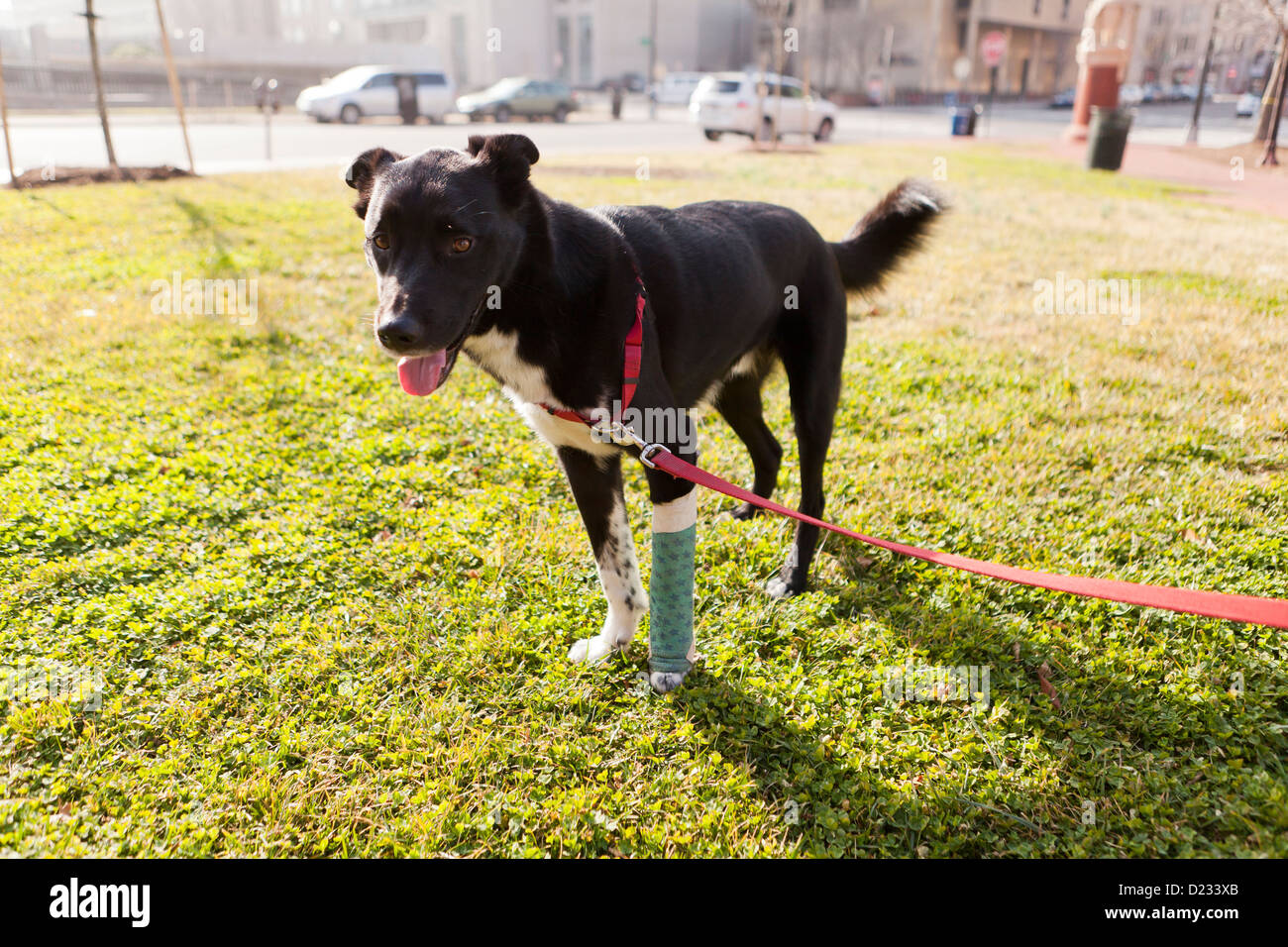 Hund mit Gipsbein Stockbild
