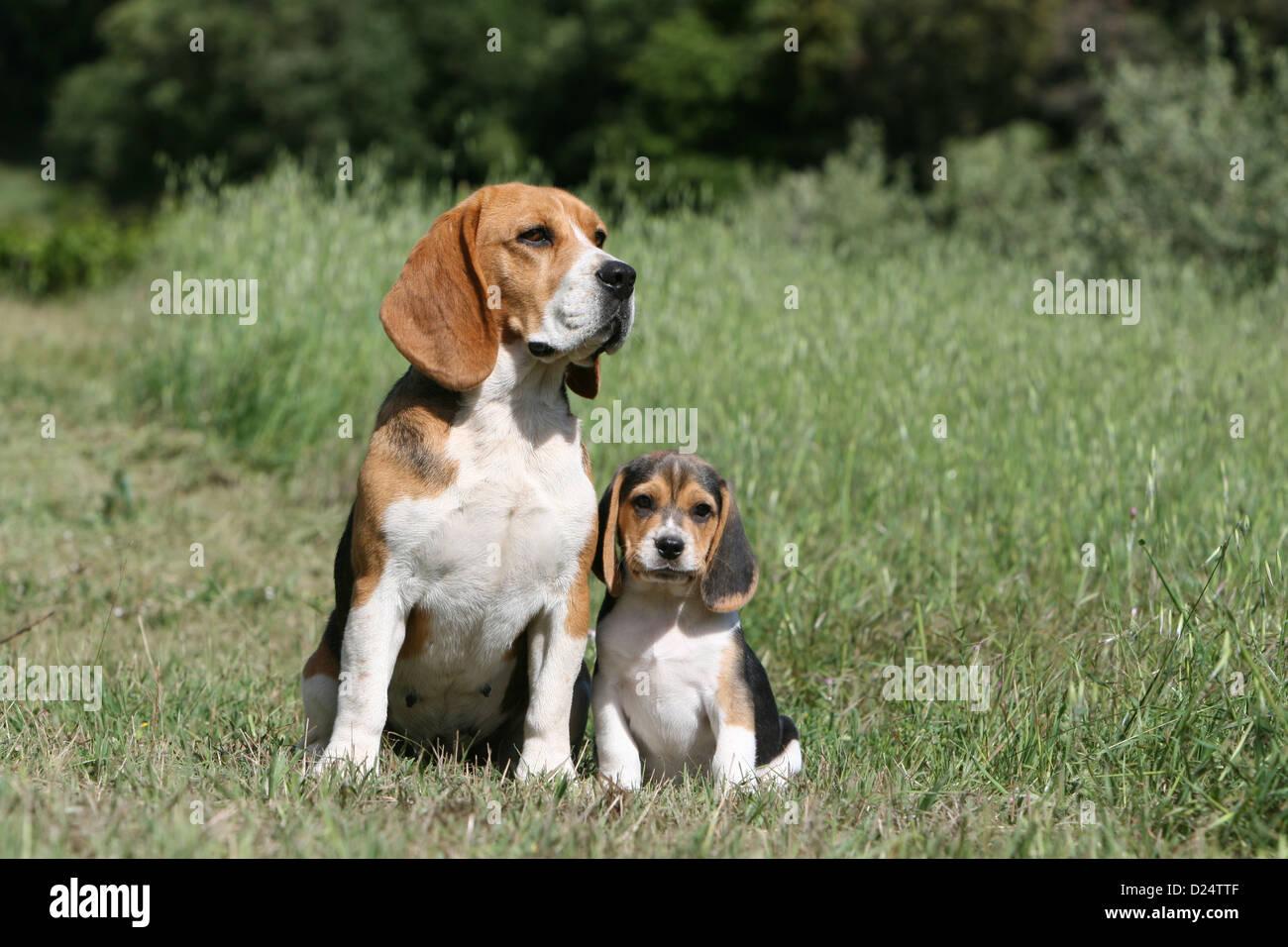 Hund Beagle Erwachsene Und Welpen Sitzen Auf Einer Wiese Stockfoto