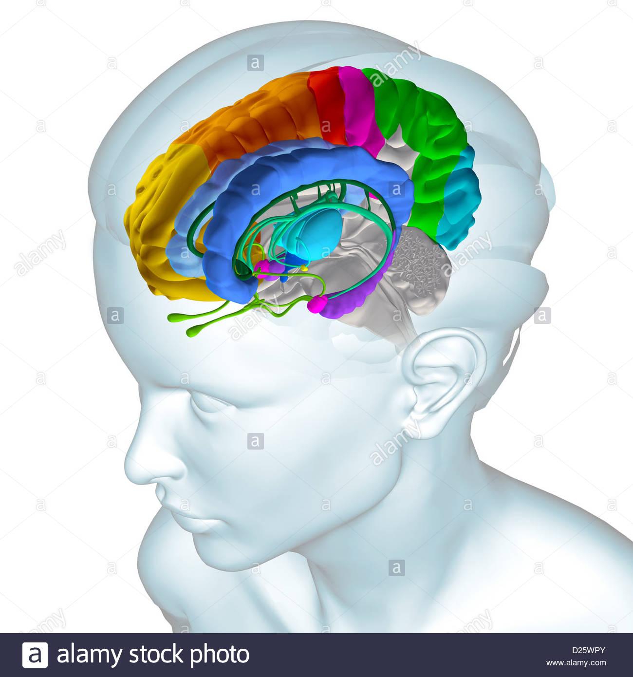 Großartig Interaktive Anatomie Des Gehirns Bilder - Menschliche ...