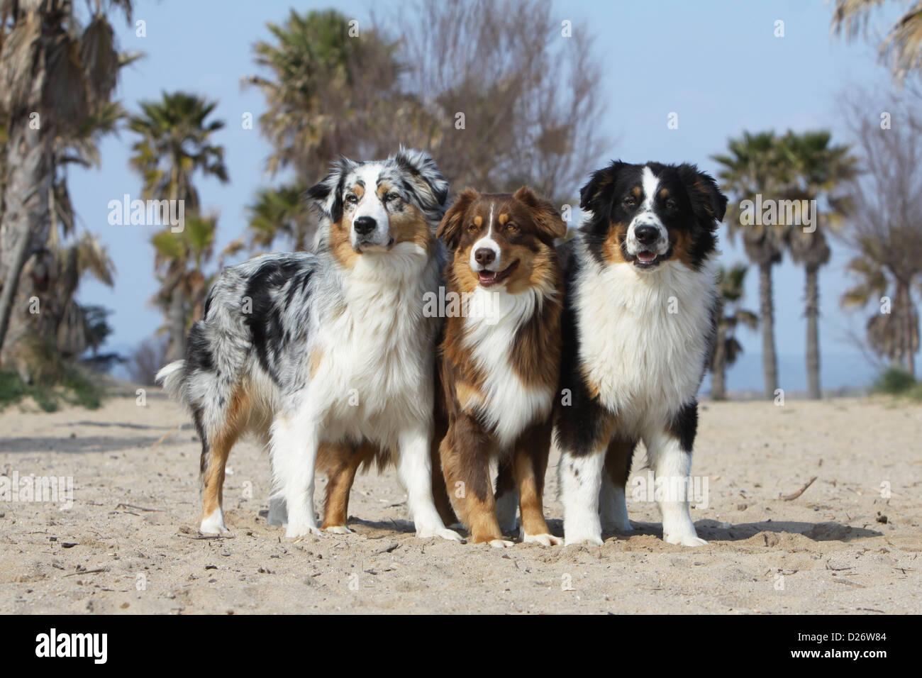 Hund Australian Shepherd / Aussie drei Erwachsene (blue ... - photo#40