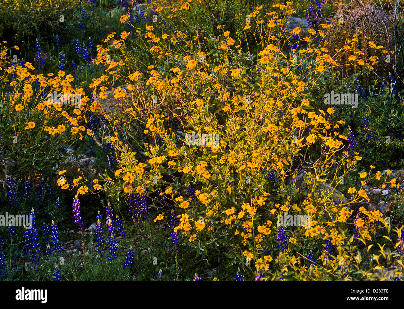 Arizona Desert Flowers Photographer Stockfotos Arizona Desert