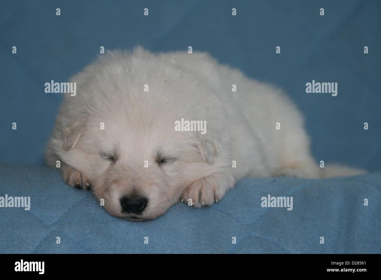 Excellent Weier Schweizer Schferhund Berger Blanc Suisse Welpen Schlafen  Auf Decke With Decke Bergre