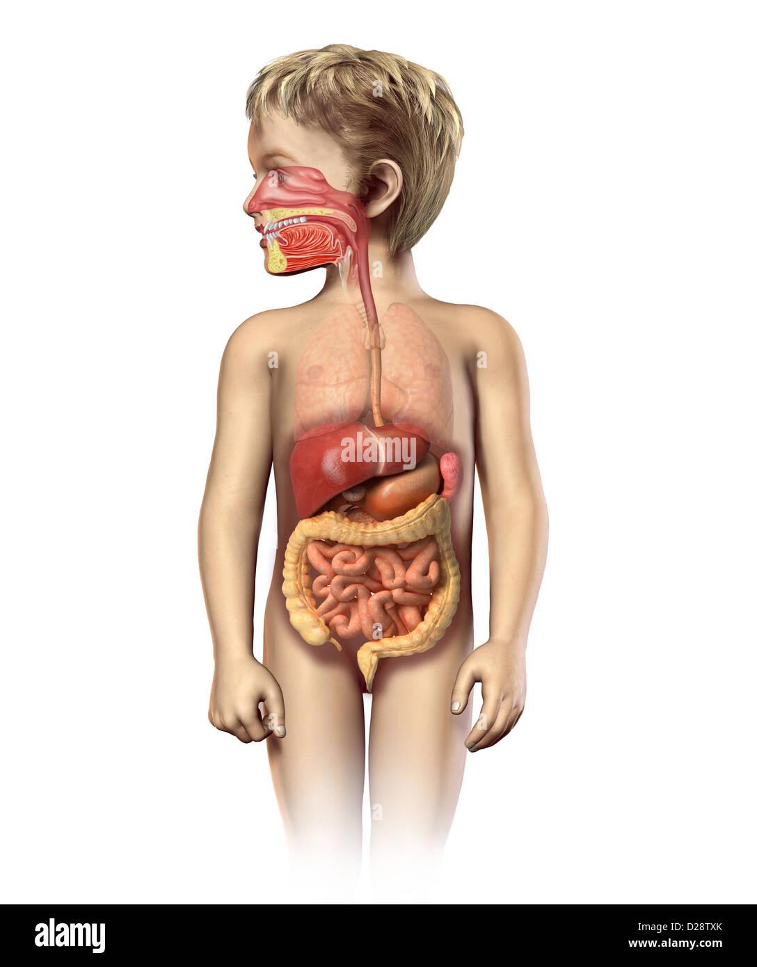 Kind Anatomie voll Verdauungssystem Cutaway. Einschließlich Mund und ...