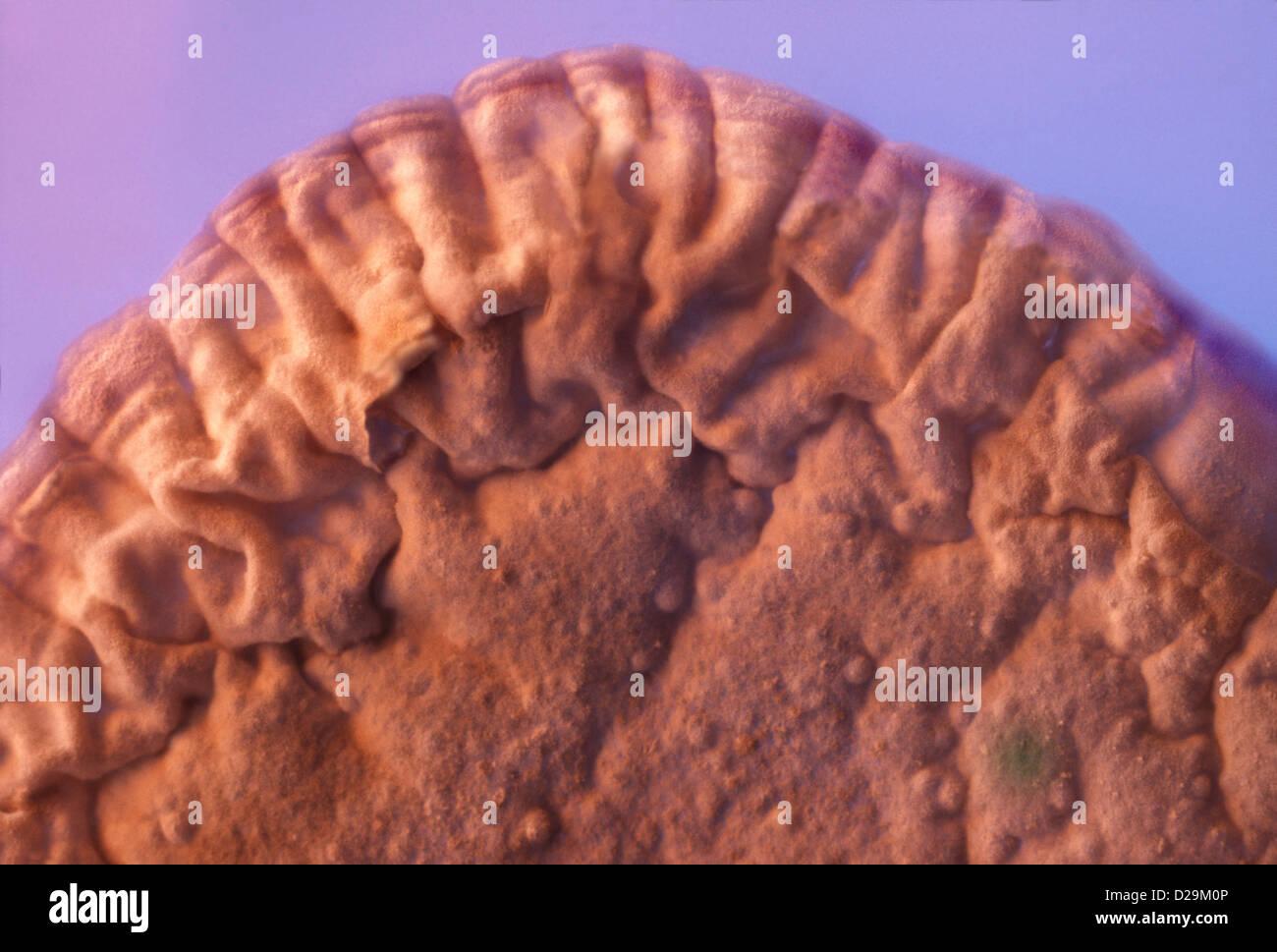 Biologisches Wachstum eine Petrie-Schale Stockbild