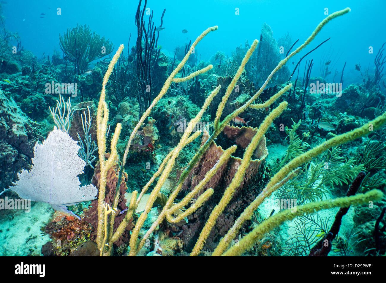 Soft Coral Coral Reef Unterwasser, Bayahibe, Dominikanische Republik Stockbild