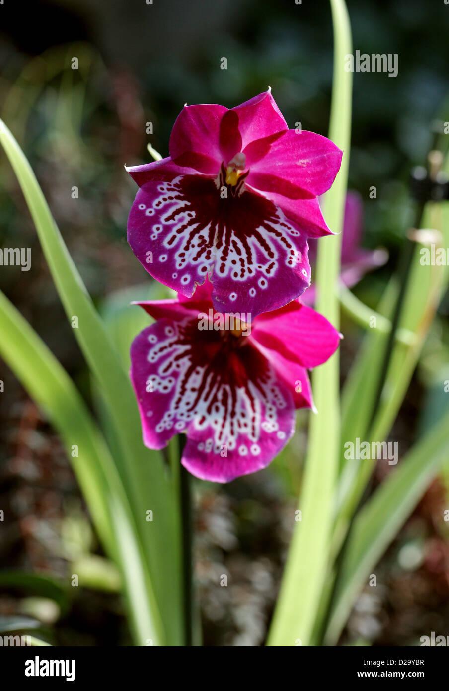 Stiefmütterchen-Orchideen oder Miltoniopsis Orchideen Orchidaceae. Stockbild