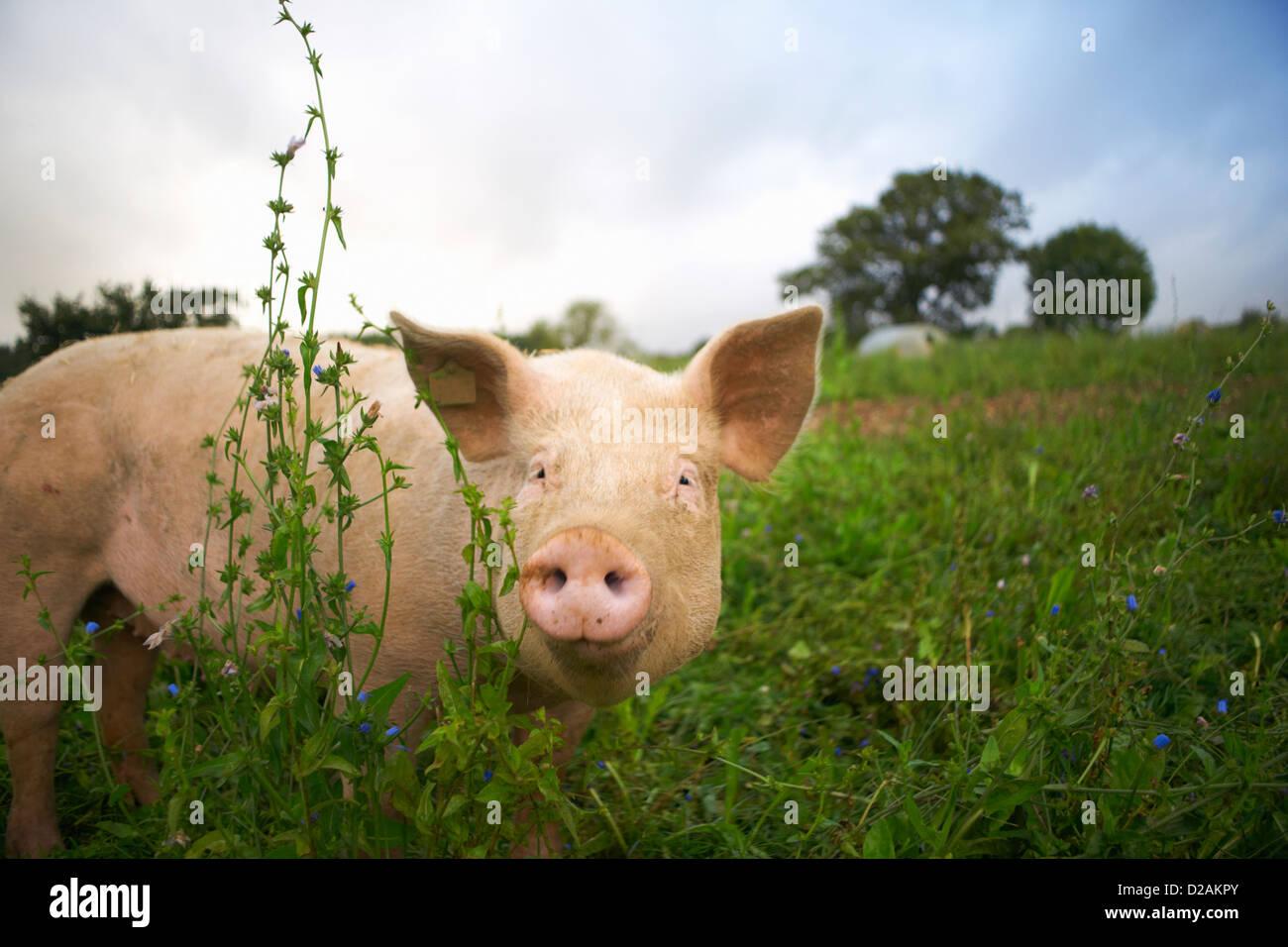 Schwein zu Fuß in hohe Gräser Stockbild