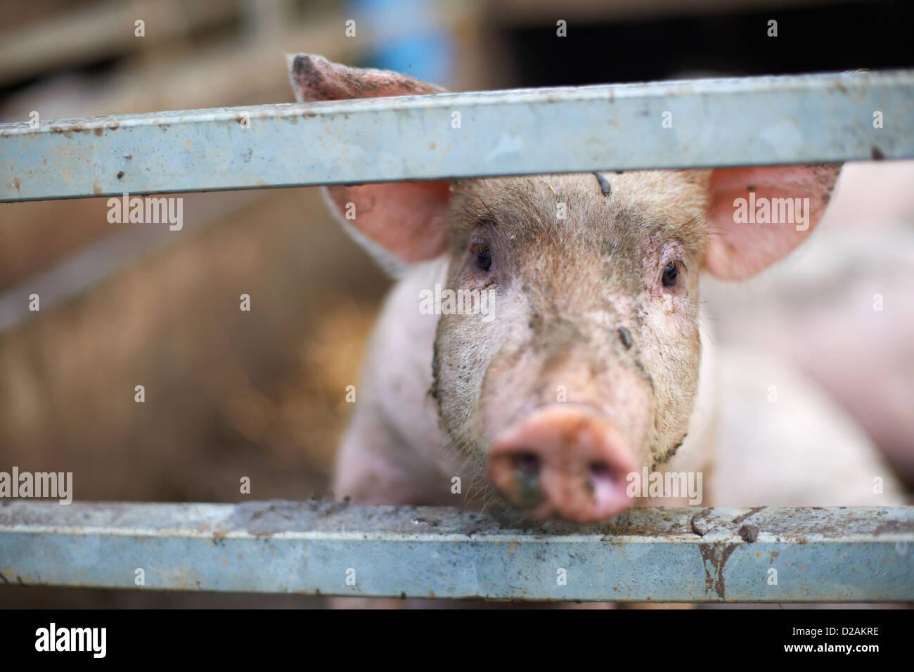 Schwein hinter Zaun heraus spähen Stockbild