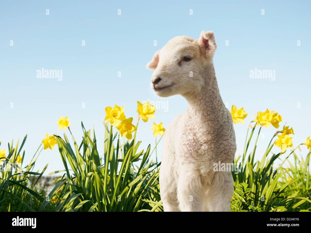 Lamm, Wandern in Blumenfeld Stockfoto