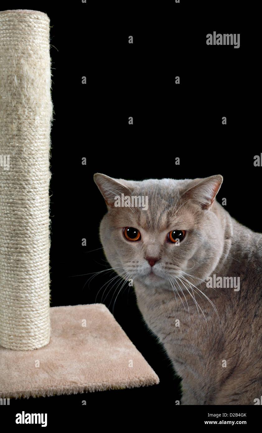 Englisch Kurze Haare Katze Und Kratzbaum Auf Schwarzem Hintergrund