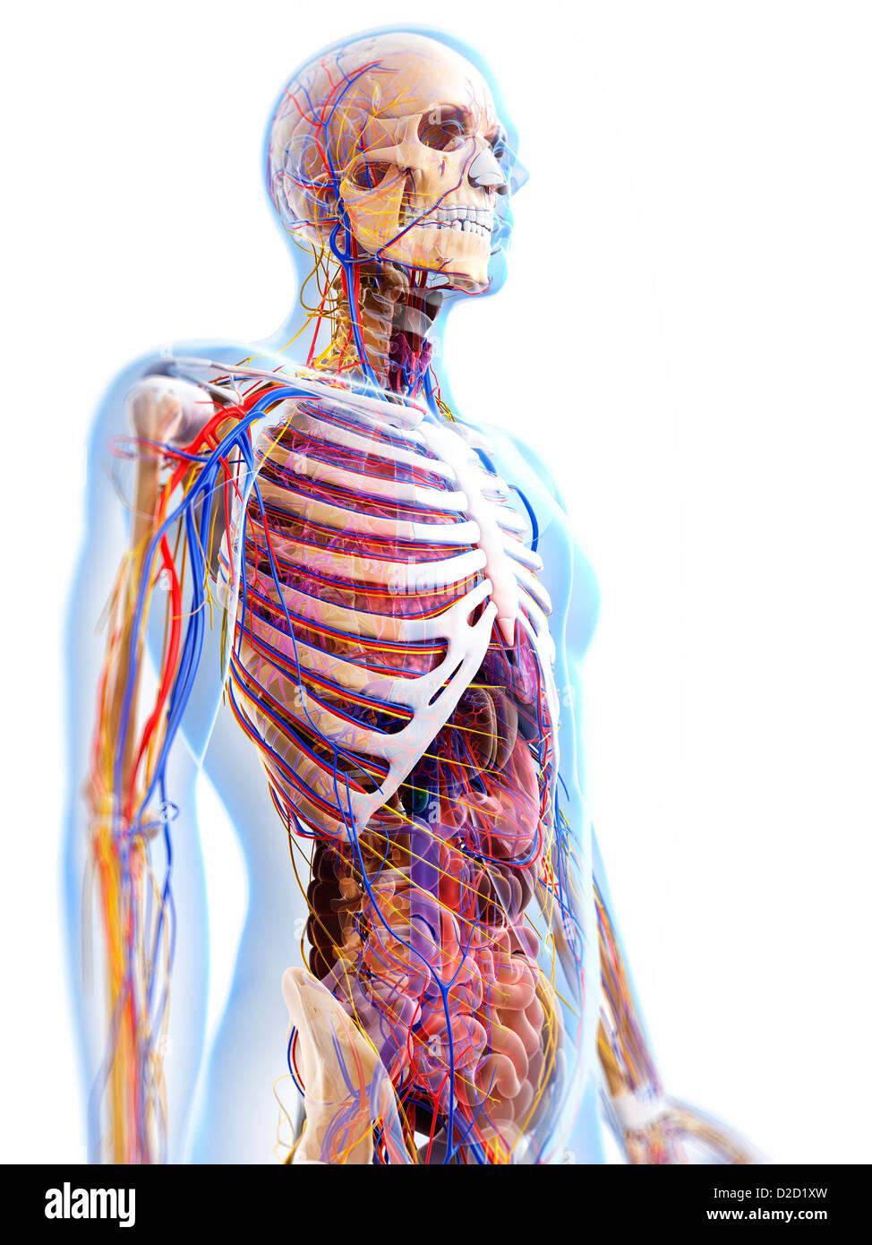 Menschliche Anatomie Computer Grafik Stockfoto, Bild: 53147329 - Alamy