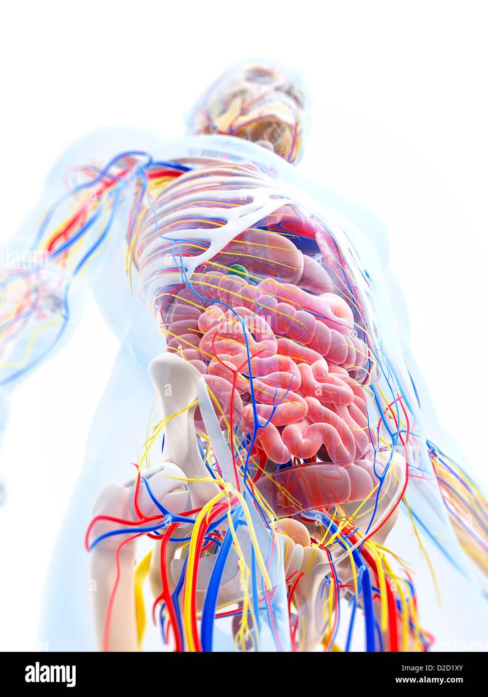 Menschliche Anatomie Computer Grafik Stockfoto, Bild: 53147331 - Alamy